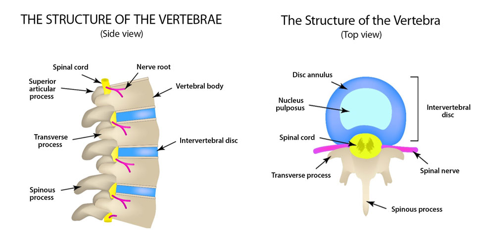The structure of the vertebrae